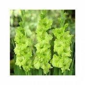 Гладиолус зеленый