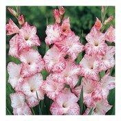 Гладиолус бело-розовый